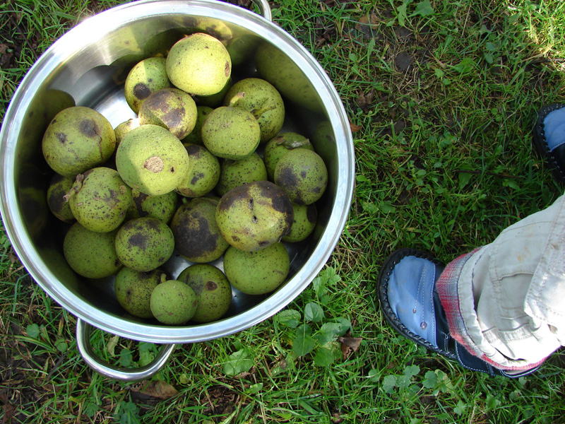 Gathered walnuts