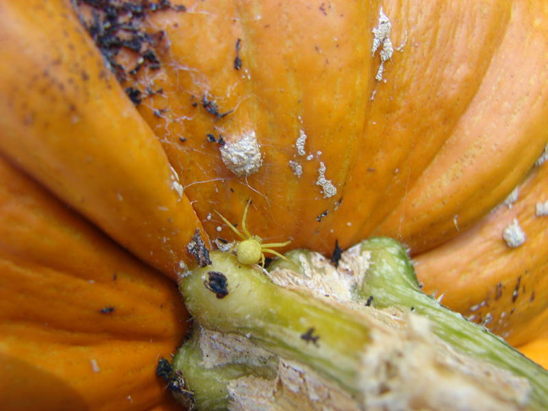 Spider on pumpkin